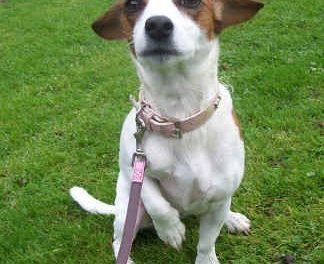 Exercising Your Jack Russell Terrier