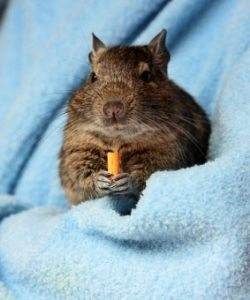 Degu Eating Carrot