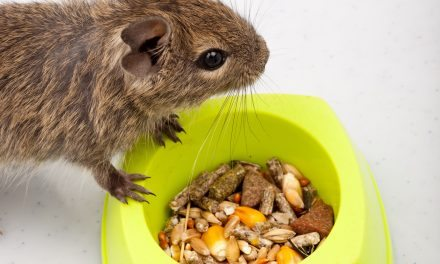 Find Degu Snacks and Treats Around Your Home!