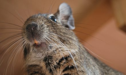 A Degu's Teeth Should Be Orange