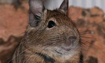 How can I adopt a Degu?