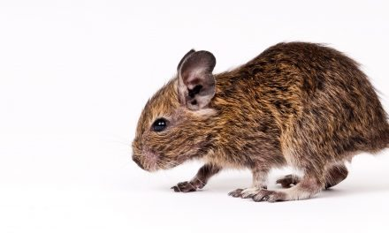 What Sex is Your Degu?