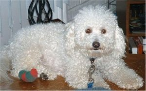 Exercising Your Bichon Frise