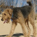 Exercising Your Welsh Terrier