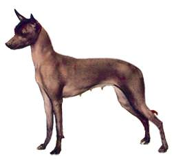 Mexican Hairless (Toy)