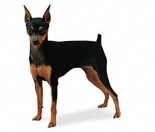 Exercising Your Miniature Pinscher
