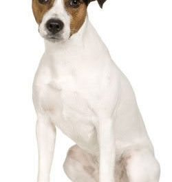 Parson Russell Terrier (Smooth)