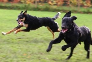 Dogs Playing Together Well