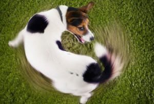 Dog Chasing Tail