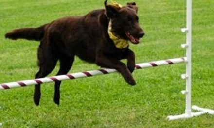 Using Obstacles For Your Dog's Health – All About Dog Agility