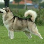 Exercising Your Alaskan Malamute