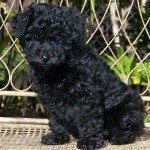 Exercising Your Miniature Poodle
