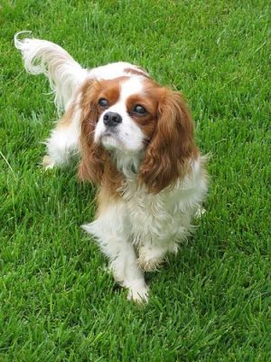 Exercising Your Cavalier King Charles Spaniel