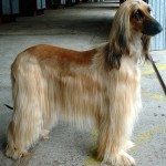 Exercising Your Afghan Hound
