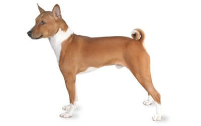 Exercising Your Basenji