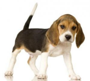 Exercising Your Beagle