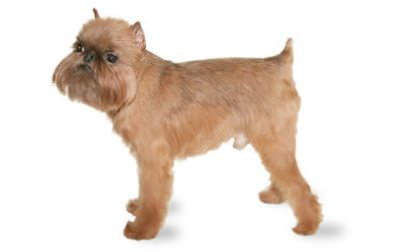 Brussels Griffon (Smooth)