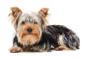 Dog Breeds that don't shed Yorkshire Terrier
