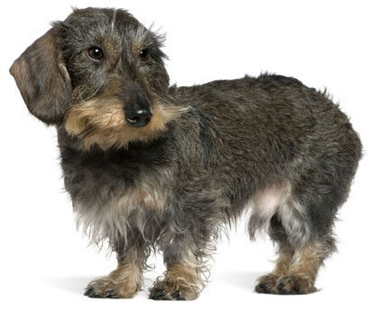 Cute Wirehaired dachshund