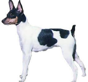 Toy Fox Valley Terrier