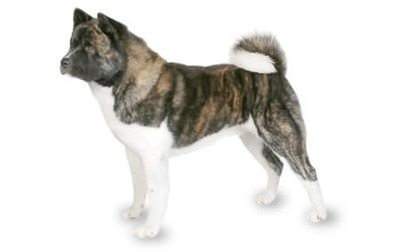 American Akita - The Dog Breeds Bible