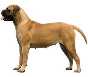 Exercising Your Bullmastiff
