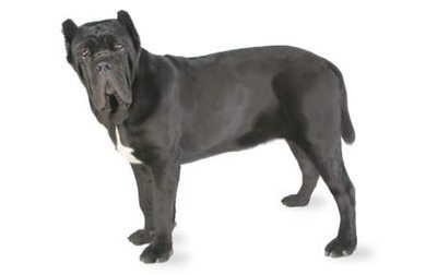 Exercising Your Neapolitan Mastiff