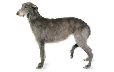 Scottish Deer hound