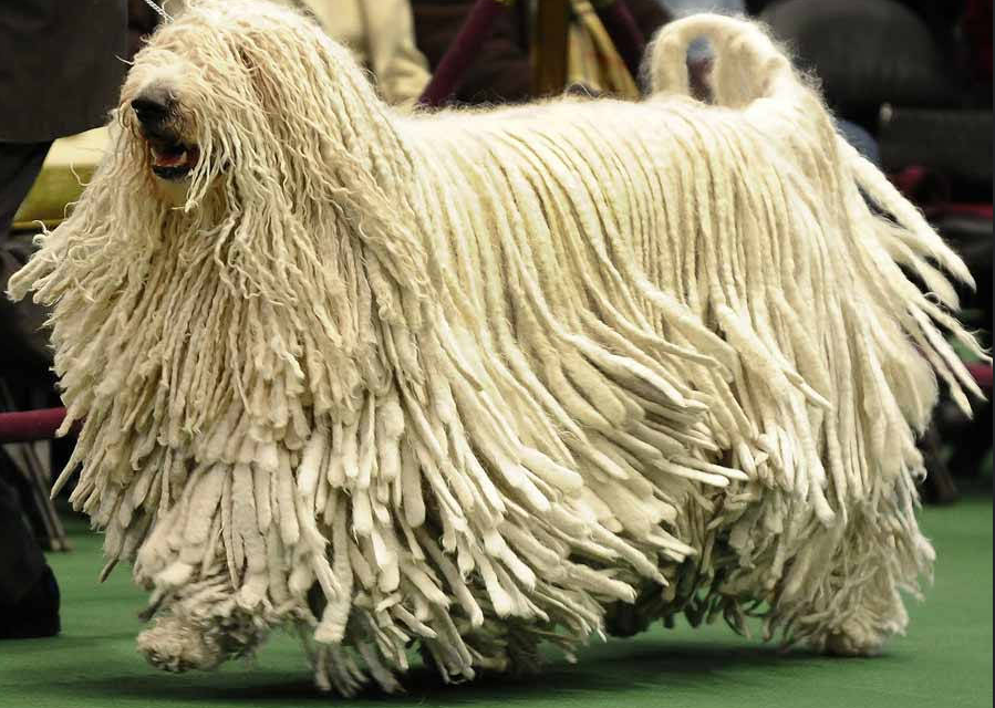 Komondor: Learn About This Cool Breed