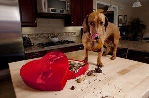 What Do I Do If My Dog Eats Chocolate?