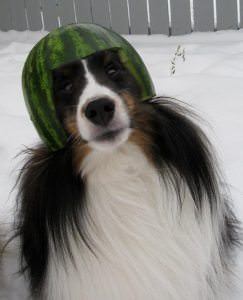 Can Dogs Have Watermelon?