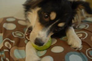 Can Dogs Have Apples?