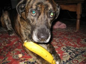 Can Dogs Have Bananas?