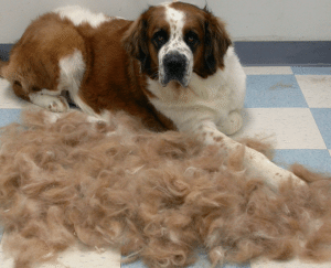 Why Do Dogs Shed?
