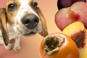 Dog Ate Persimmon