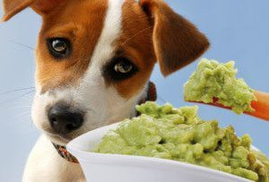 Can Dogs Eat Avocado Safely?