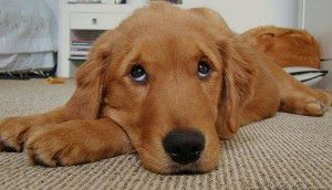 End Housetraining Accidents After Puppyhood