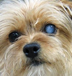 Cataracts (Canine)