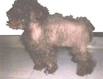 Cushing's Syndrome (Canine)
