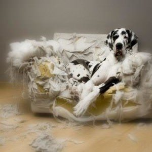 dog chewed on couch
