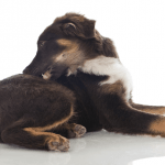 What Dog Owners Should Know About Flea Dirt