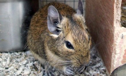10 Cool Degu Facts
