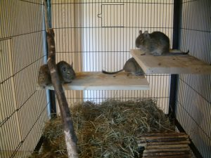 Degu Bedding