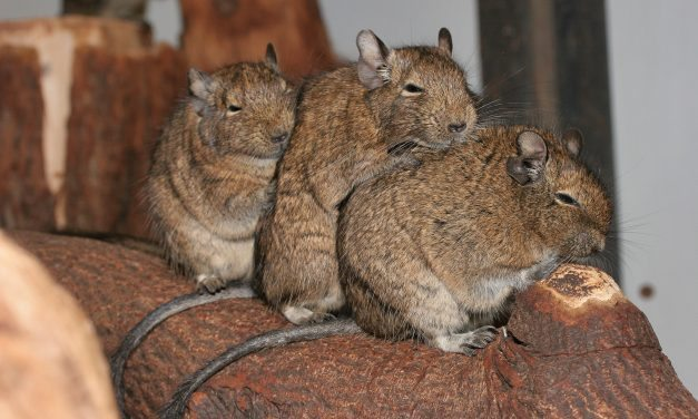Bedding for your Degu Cage
