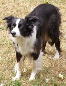 Exercising Your Border Collie