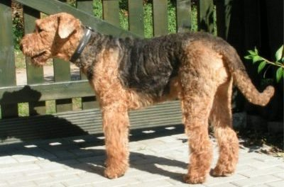 Exercising Your Airedale Terrier