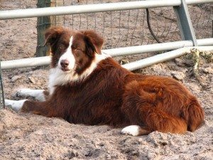 Exercising Your Australian Shepherd