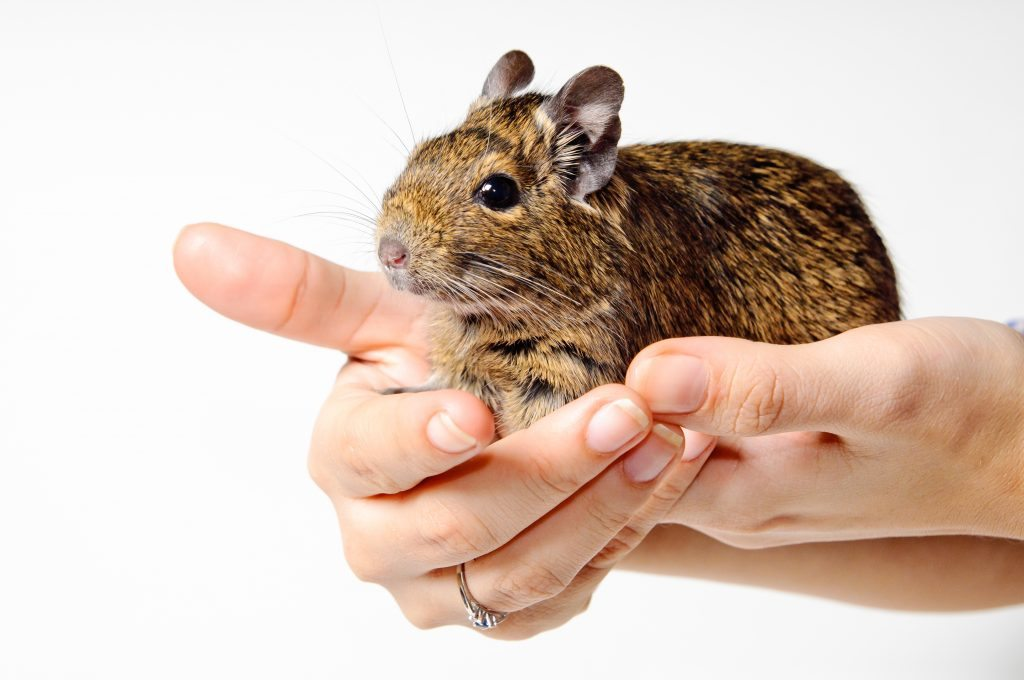 8 Ways To Keep Your Degu Happy