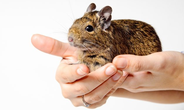 8 Easy Ways to Keep Your Degu Happy!
