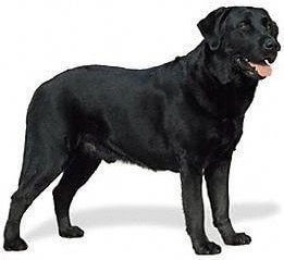 Exercising Your Labrador Retriever
